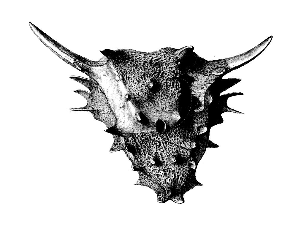 Elginia_mirabilis_skull_1893.png