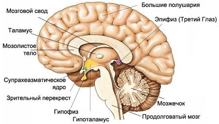 shishkovidnaya-zheleza-epifiz-shishkovidnaya-zheleza-golovnogo-mozga-chto-eto-takoe-obyzvestvlenie-i-stroenie-epifiza.jpg
